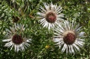 carlina acaulis-subsp.caulescens